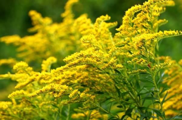 top các loài thảo dược tốt cho thận
