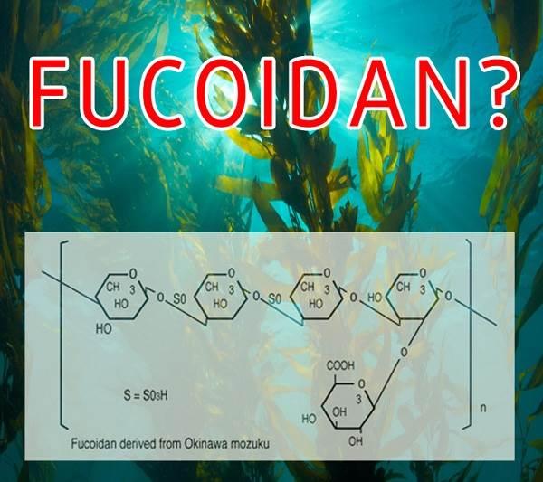 Fucoidan là một hoạt chất có nhiều trong tảo nâu Nhật Bản
