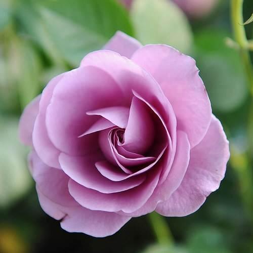 Top 10 loài hoa đẹp nhất trên toàn thế giới - Hoa Hồng
