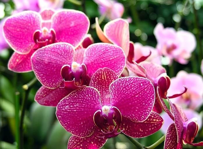 Top 10 loài hoa đẹp nhất trên toàn thế giới - phong lan