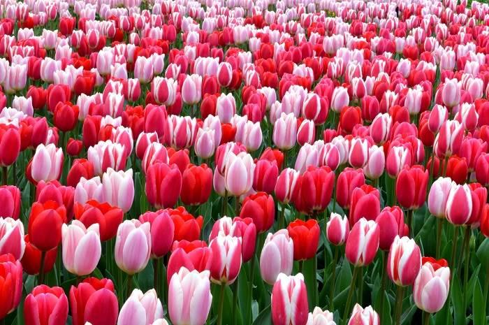 Top 10 loài hoa đẹp nhất trên toàn thế giới - Tulip