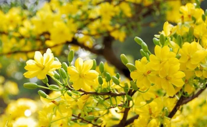 ý nghĩa của những loài hoa - hoa mai